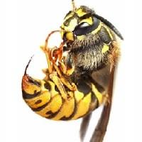 Пчела, укусы насекомых