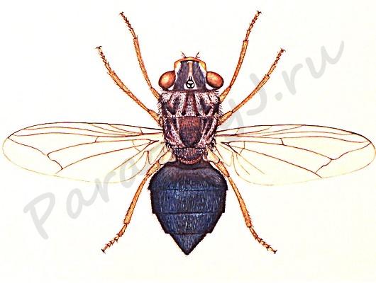 Муха, личинки которой - паразиты в глазах