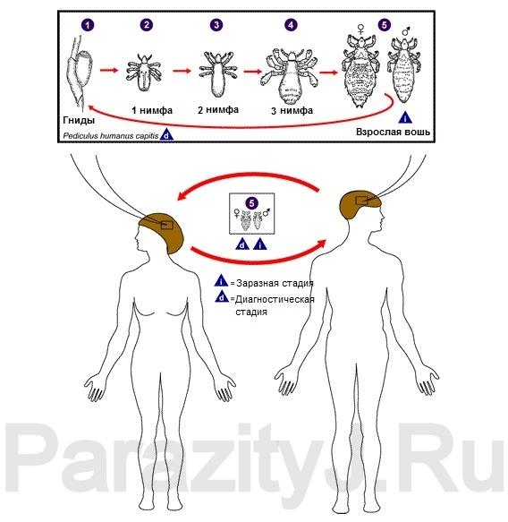 Жизненный цикл головных вшей