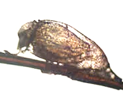 Гнида с колпачком и личинкой внутри