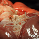 Как выглядит глист Dirofilaria immitis