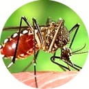 Комар, переносчик ЛИХОРАДКИ ЗИКА